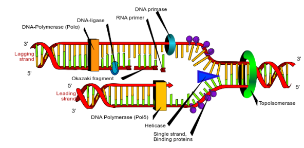 dna-rep.png